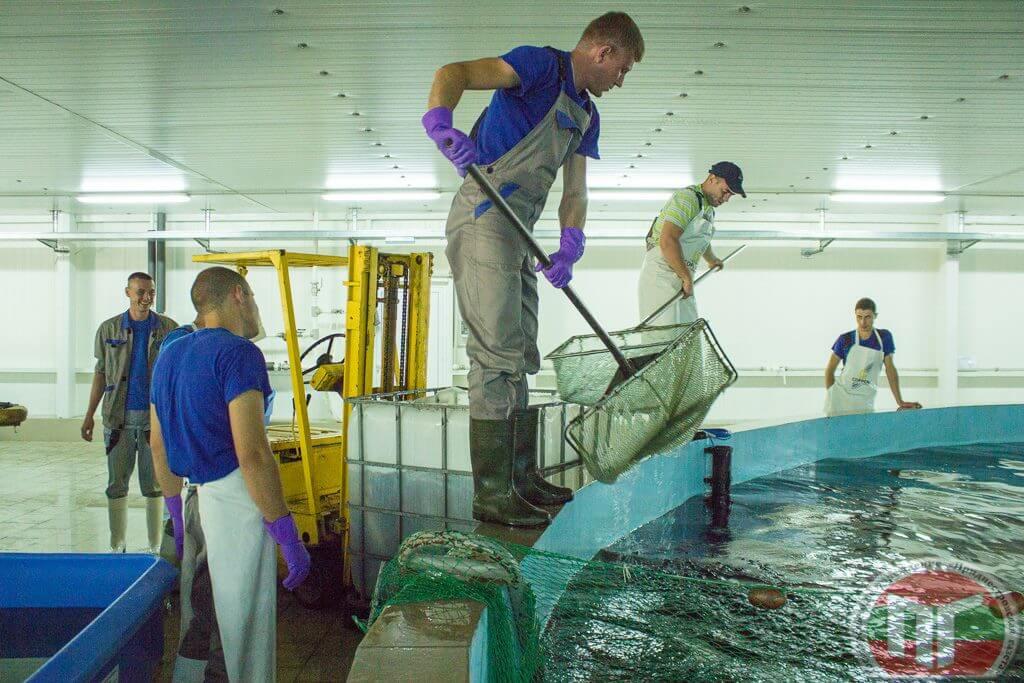 Выращивание рыбы происходит в рециркуляционной системе, где установлено замкнутое водоснабжение