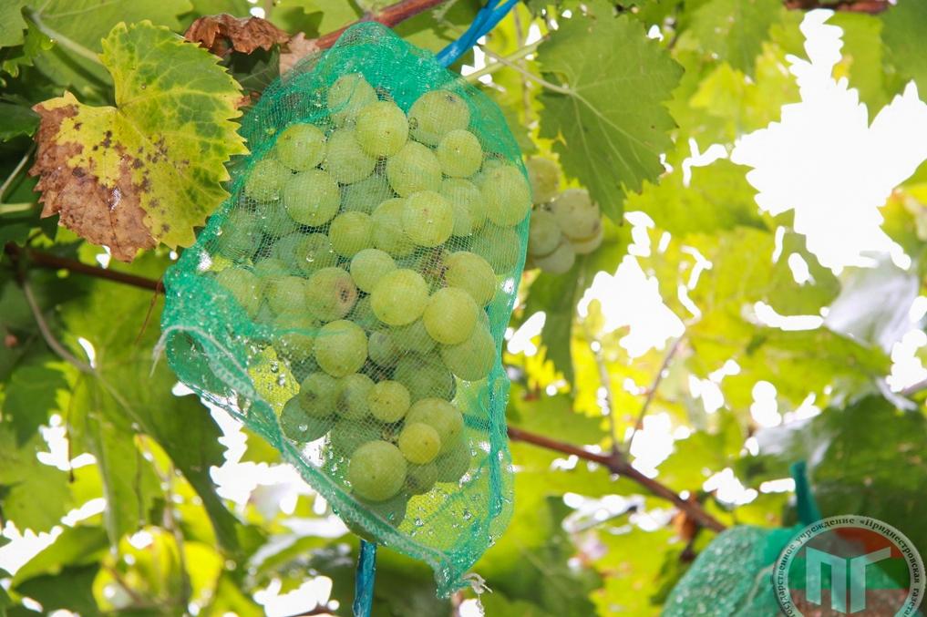 Урожай нужно защищать от вредителей, которым неведомо, что такое частная территория. Только сетка для винограда спасёт от птиц, ос, пчёл, которых привлекают ягоды, поможет обезопасить себя и близких от случайных укусов