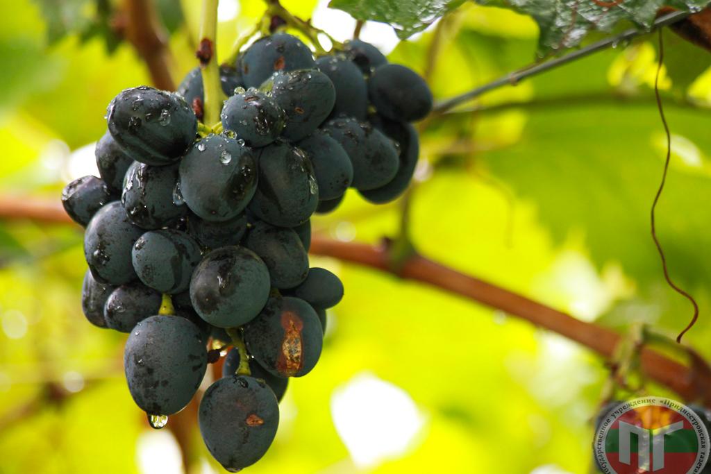 Выращиванием элитных сортов винограда Николай Камерзан профессионально занимается на протяжении последних 7-ми лет