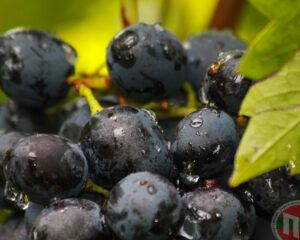 Ароматный спелый домашний виноград