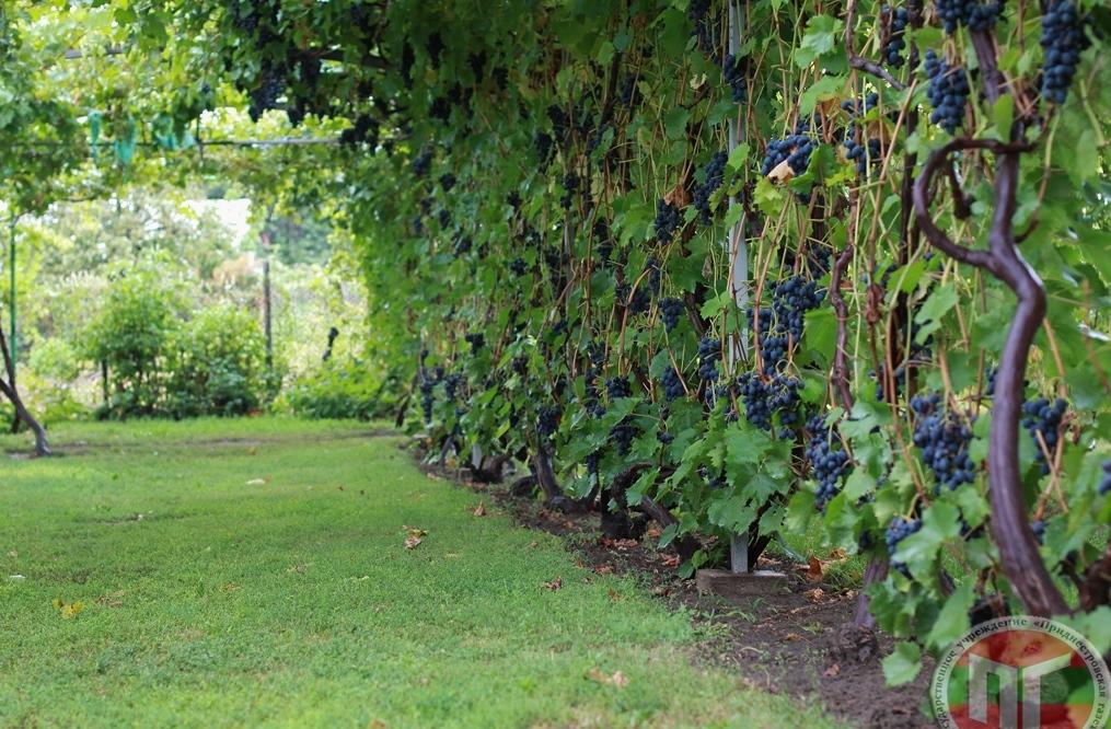 Прогуливаясь под виноградными арками, туристы и гости дома могут рвать грозди с крупными виноградинами. Коллекция составляет более 100 сортов. В разное время года у гостей есть уникальная возможность насладиться вкусом малины и персиков, продегустировать домашнее сухое вино, вишневку или малиновку